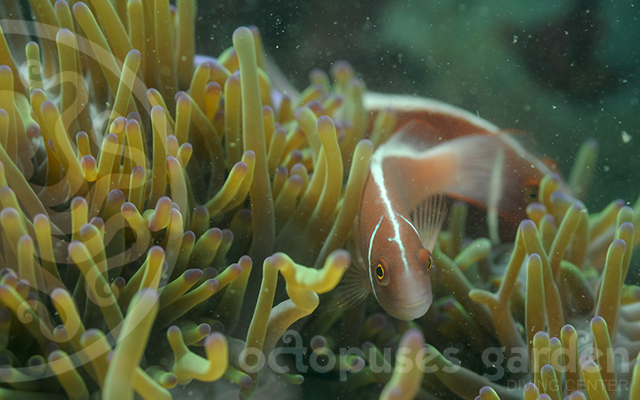 pink_anemone fish_housereef_corrected_watermarkedweb