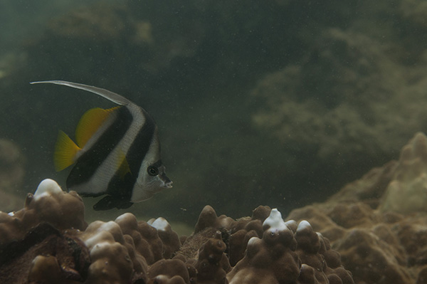 bannerfish_koh_chan_web_DSC_1707