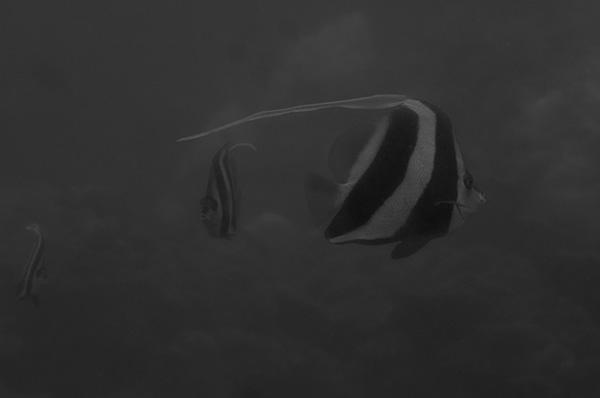 bannerfish_scool_koh_chan_web_DSC_1686