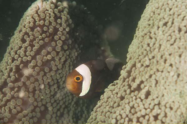 saddleback_clownfish_web_jpg
