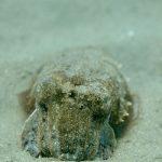 DSC_2354_ohns_pier_cuttlefish_web